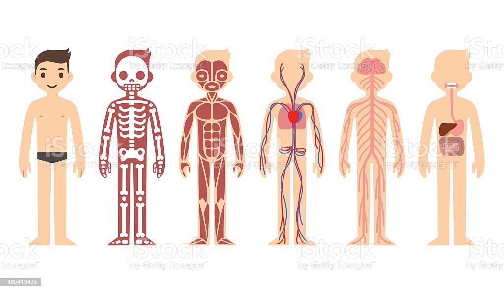 Anatomy diagram (male) vector art illustration