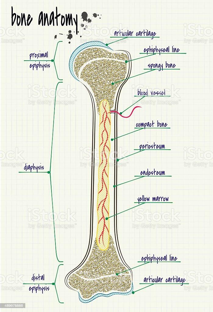 anatomy human bone vector art illustration