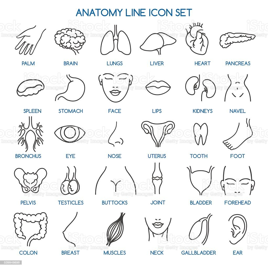 Anatomy line icons vector art illustration