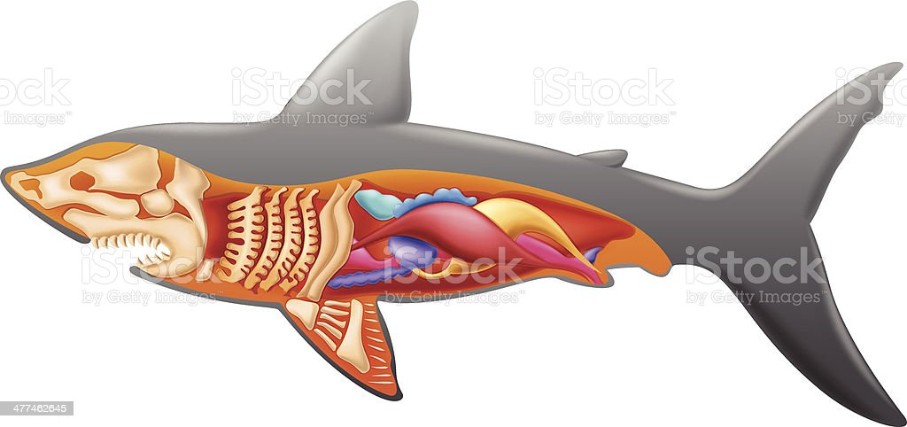 Anatomy of a shark royalty-free stock vector art