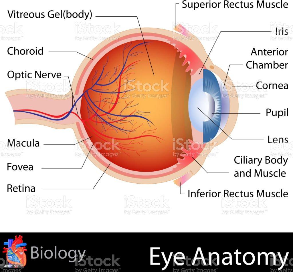 Anatomy of Eye vector art illustration