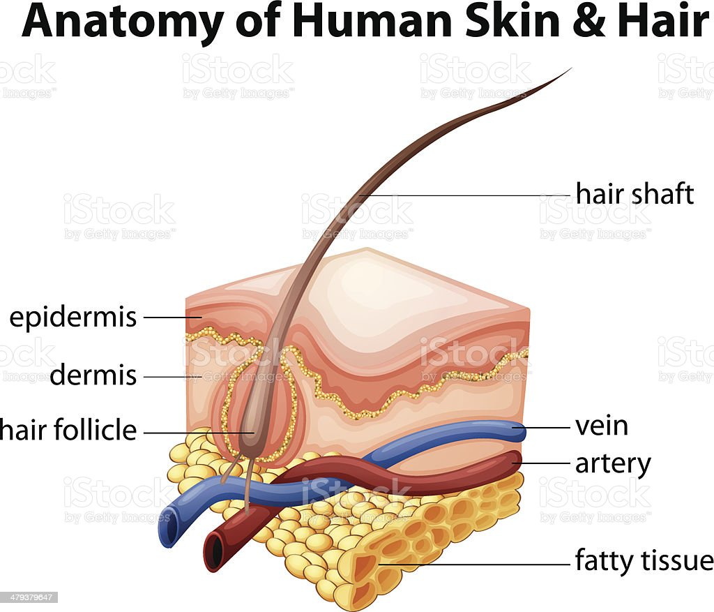 Anatomy of Human Skin and Hair vector art illustration