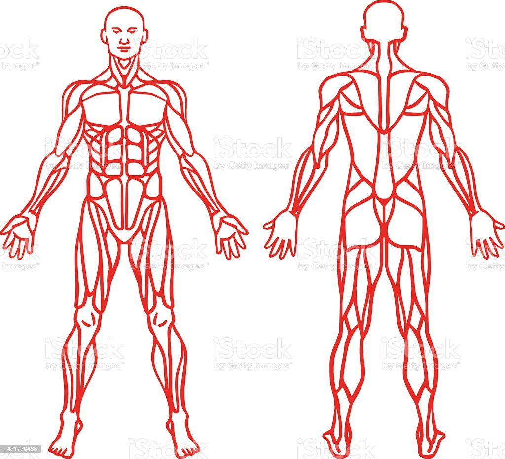 Anatomy of male muscular system, exercise and muscle guide. vector art illustration