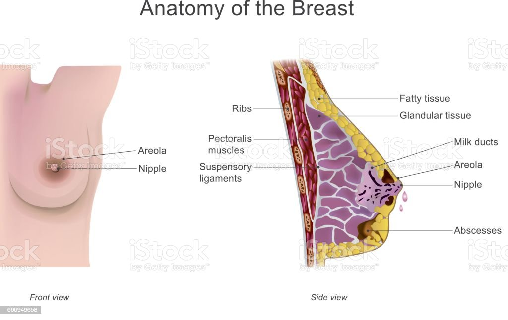 Anatomy of the breast. Vector graphic. vector art illustration