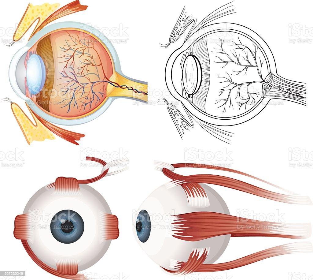 Anatomy of the eye vector art illustration