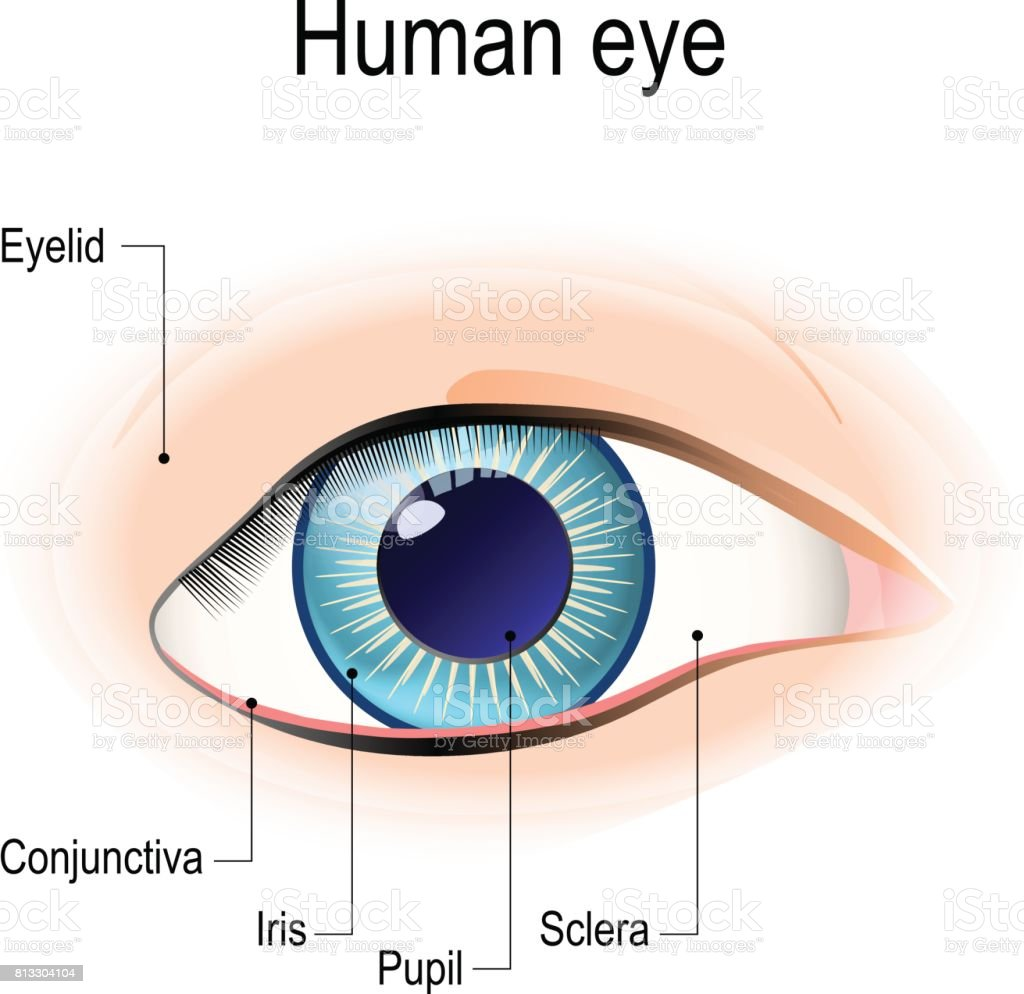 Anatomy of the human eye in front view. vector art illustration