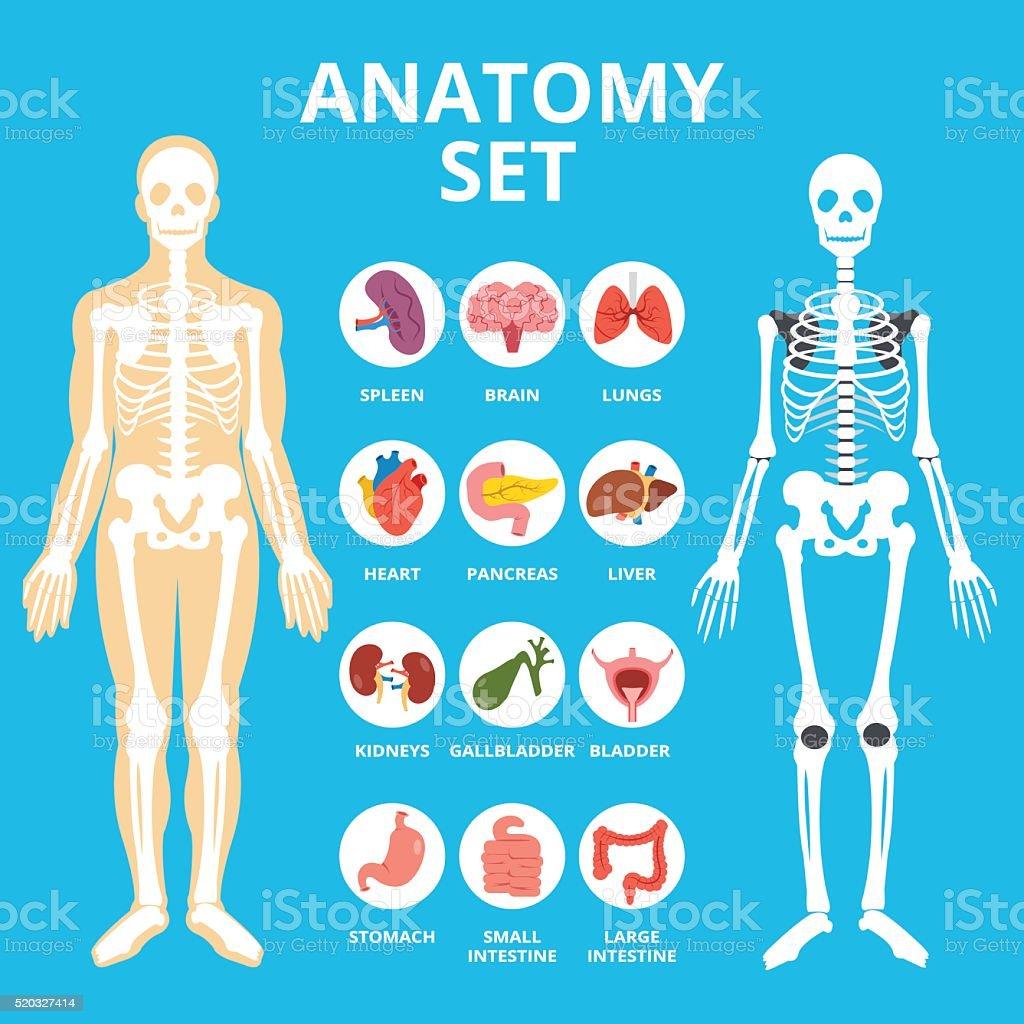 Anatomy set, anatomy infographics. Human Internal organs icons set vector art illustration