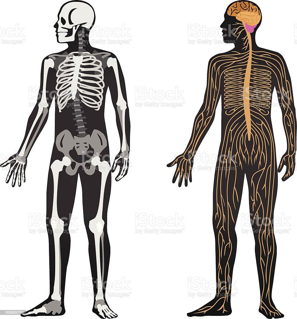 Anatomy vector art illustration