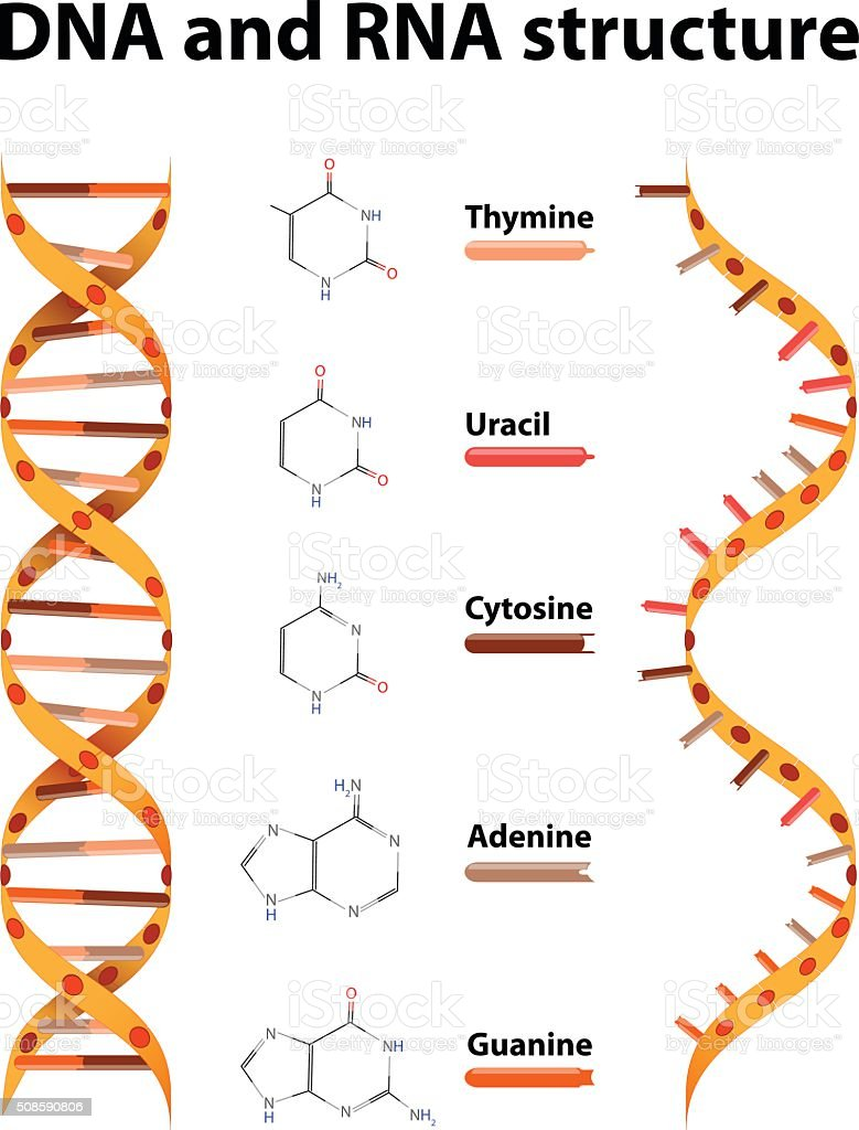 DNA and RNA structure vector art illustration