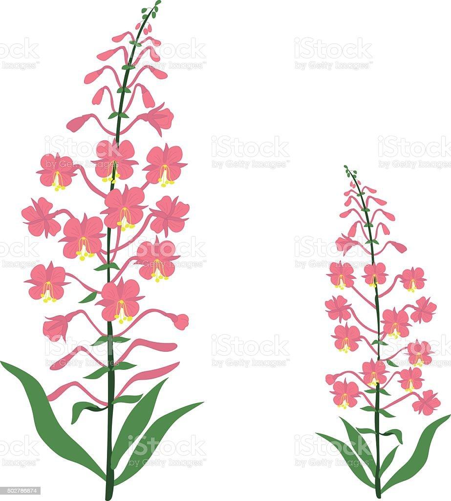 Angustifolium, chamaenerion, Willow tea herb, sally-bloom flower vector art illustration