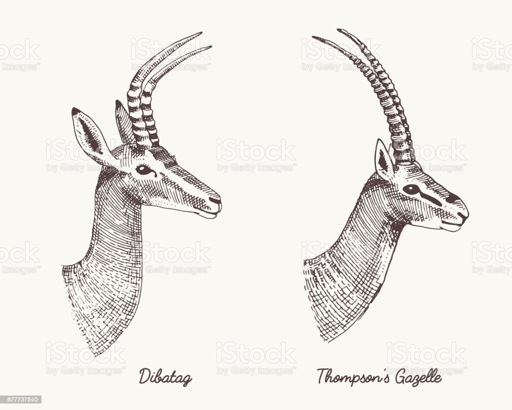 antelopes dibatag and thompsons gazelle vector hand drawn illustration, engraved wild animals with antlers or horns vintage looking heads side view vector art illustration