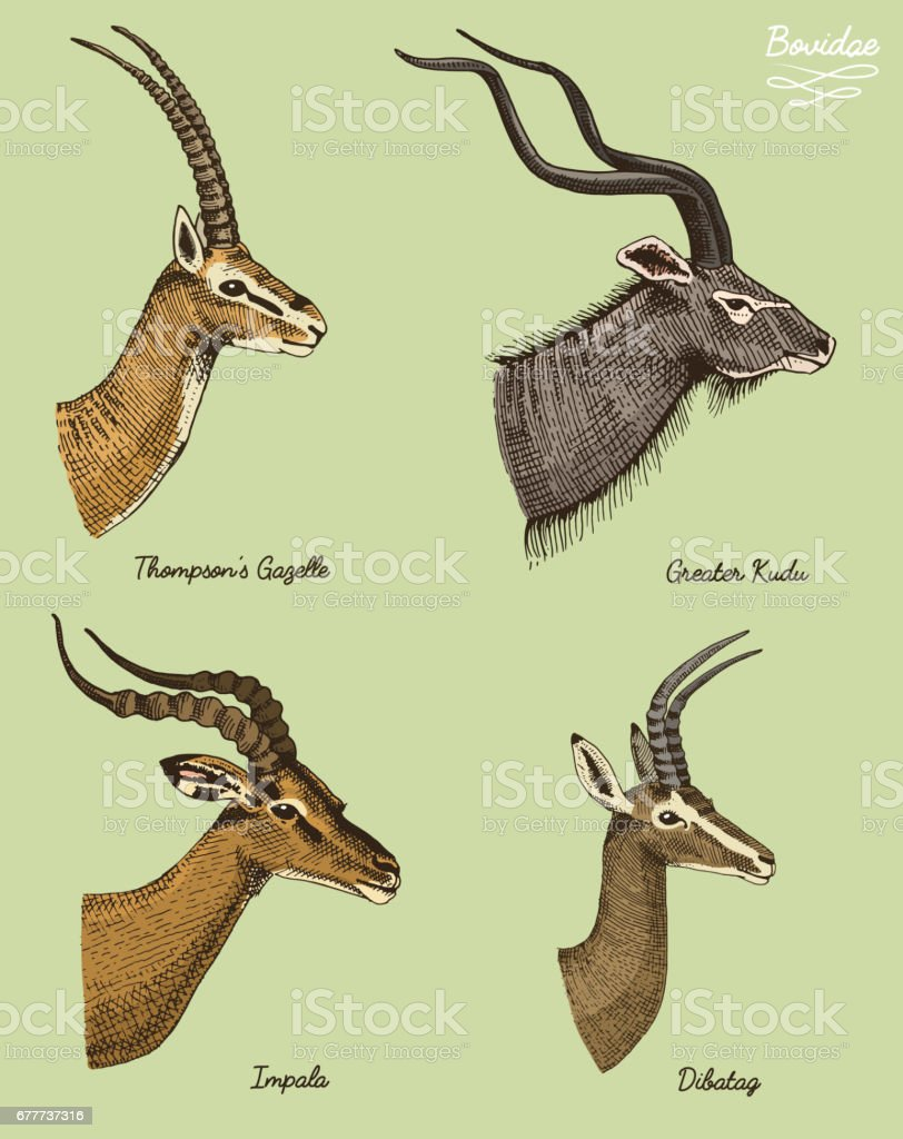 antelopes greater kudu, gazelle thompsons, dibatag and impala vector hand drawn illustration, engraved wild animals with antlers or horns vintage looking heads side view vector art illustration
