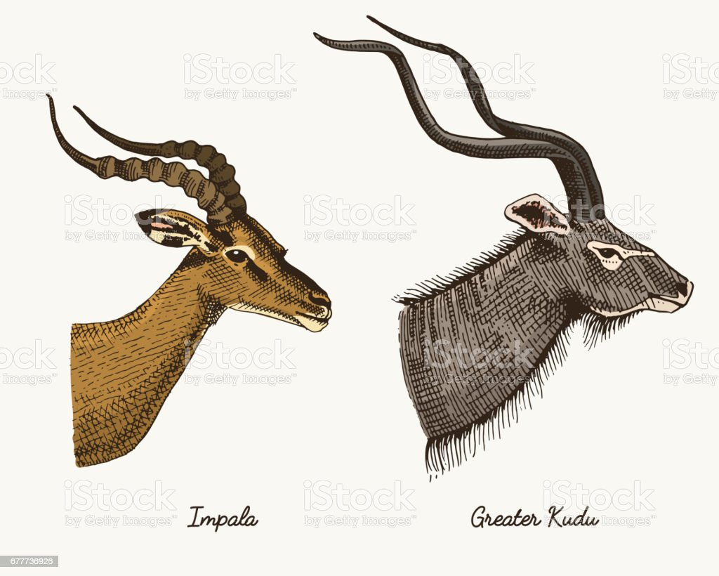 antelopes impala and greater kudu vector hand drawn illustration, engraved wild animals with antlers or horns vintage looking heads side view vector art illustration