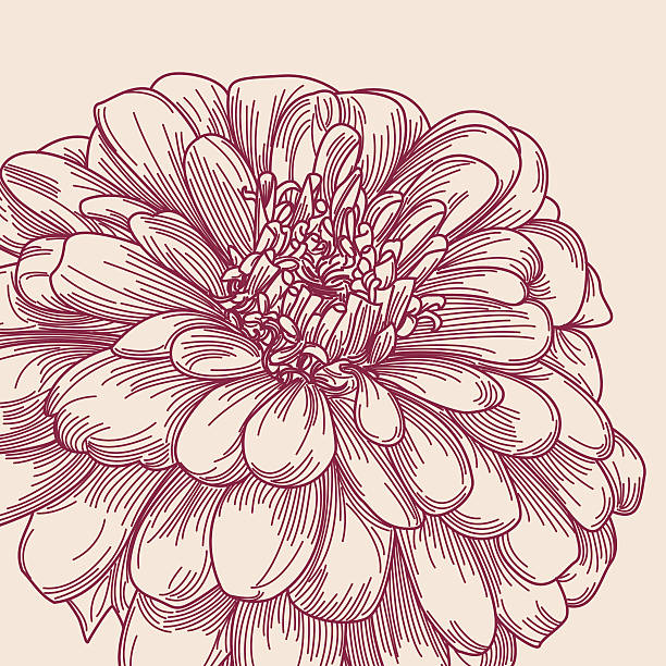 Zinnia Line Drawing : Zinnia clip art vector images illustrations istock