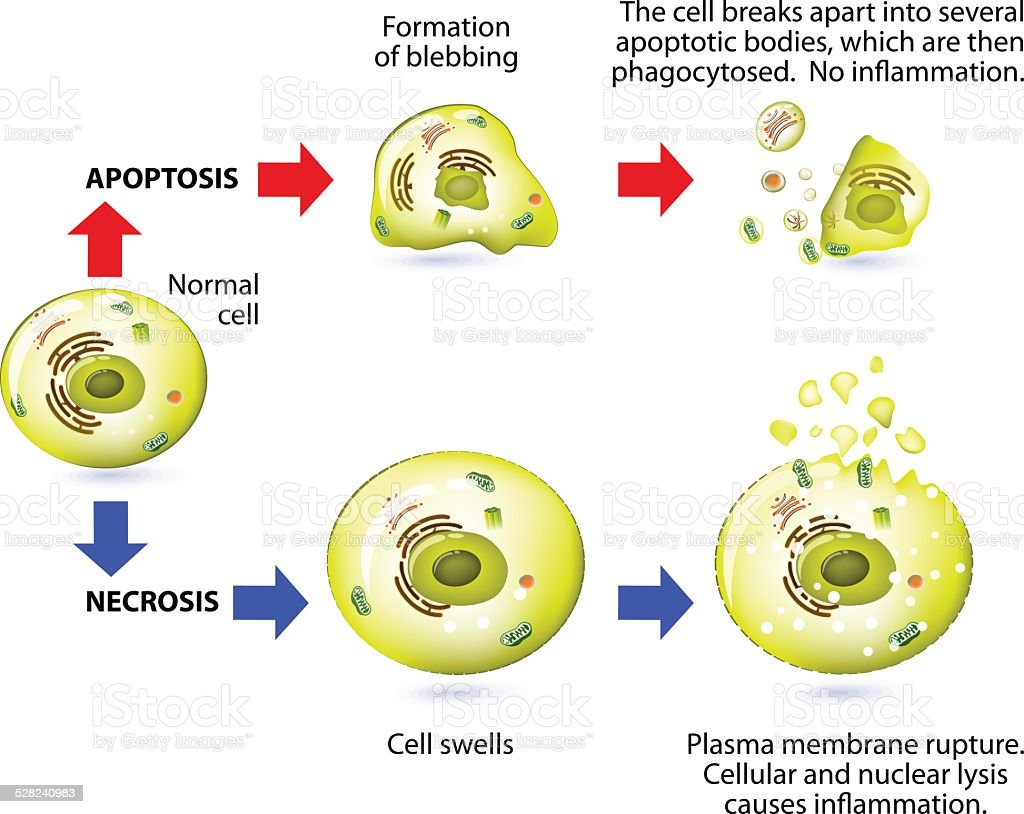 Apoptosis and necrosis. Difference. vector art illustration