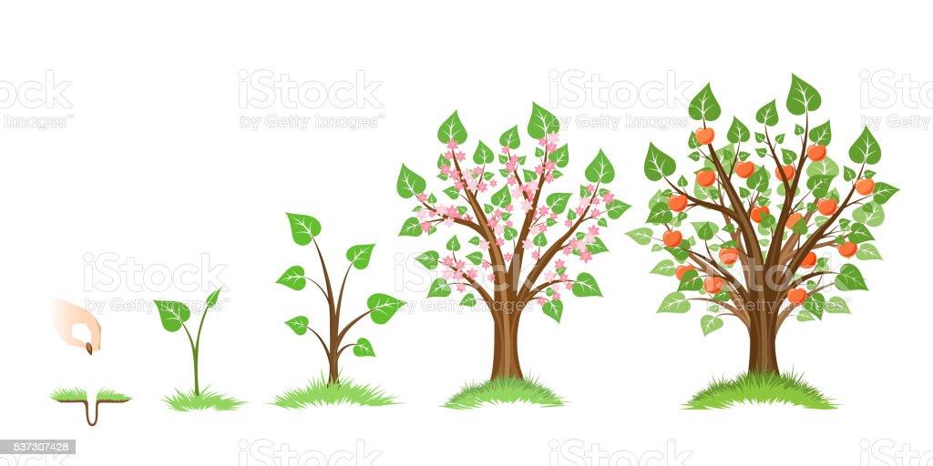 Apple tree growth vector art illustration