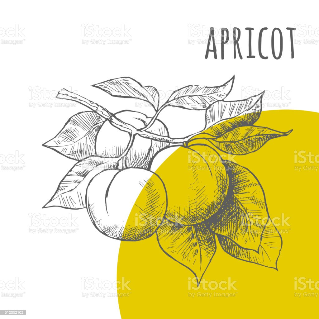Apricot vector freehand pencil drawn sketch vector art illustration