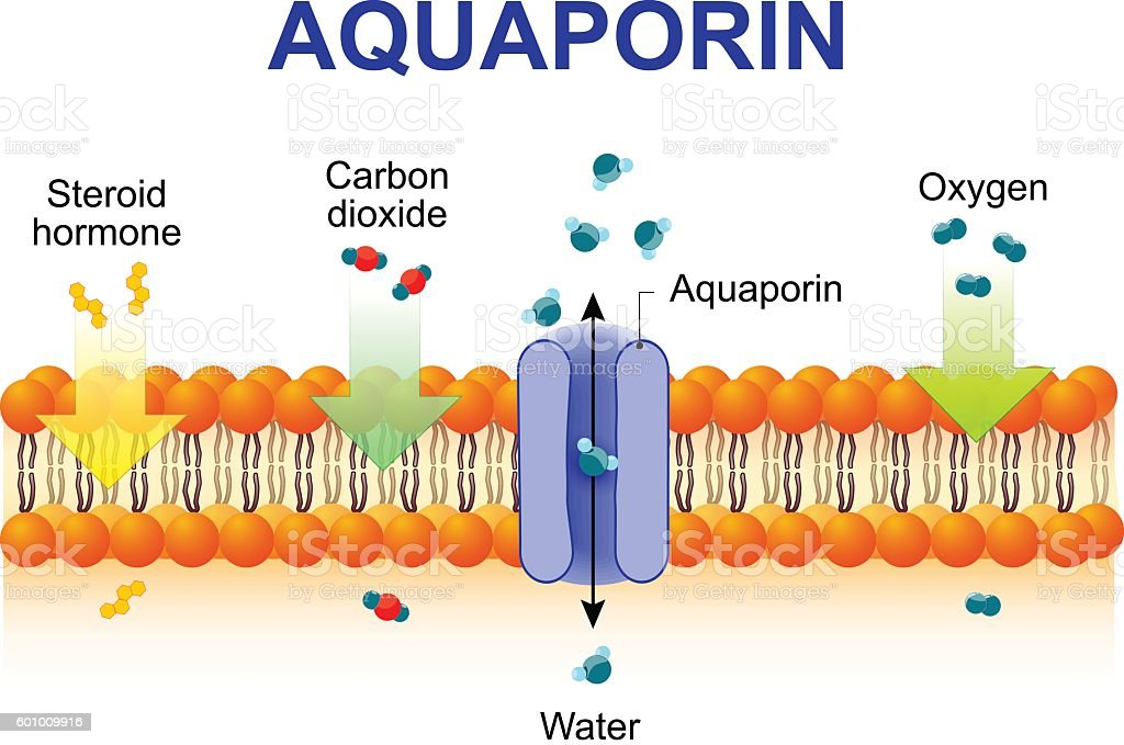 Aquaporin is integral membrane proteins vector art illustration