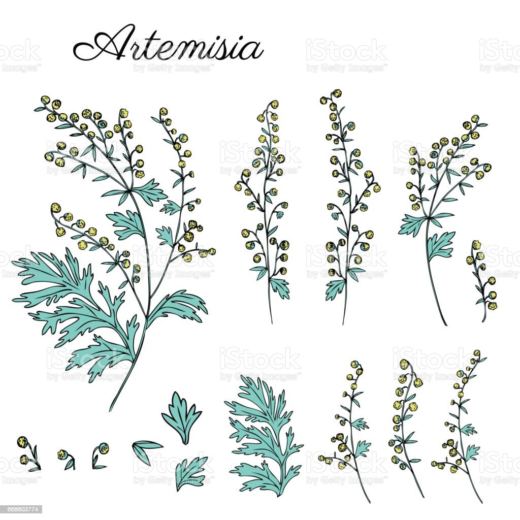 Artemisia absinthium, common wormwood, absinthium absinthe hand drawn vector ink color sketch isolated on white, Wormwood herb, Absinthe plant, Doodle Healing for cosmetics, design package, textile vector art illustration