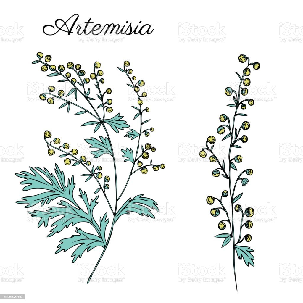 Artemisia absinthium, wormwood hand drawn vector ink color sketch isolated on white, Also called absinthium absinthe wormwood, wormwood, common wormwood, Wormwood herb, Absinthe plant, Doodle Healing vector art illustration