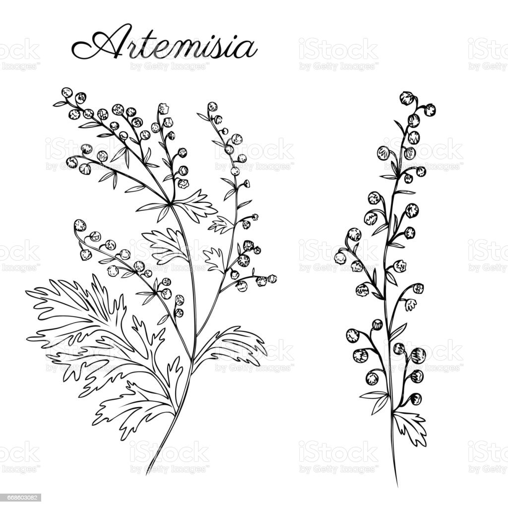 Artemisia absinthium, wormwood hand drawn vector ink sketch isolated on white, Also called absinthium absinthe wormwood, wormwood, common wormwood, Wormwood herb, Absinthe plant, Doodle Healing herbs vector art illustration