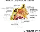 Arteries and Nerves of the Nasal Septum. Vector Art, Illustration.
