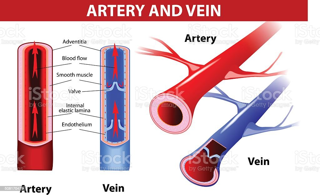 artery and vein. Vector vector art illustration