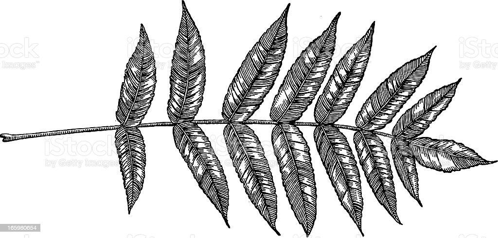 Ash Leaf vector art illustration