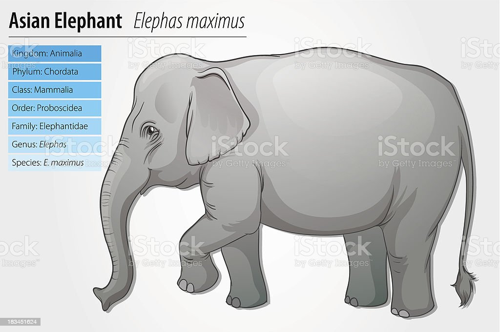 Asian Elephant vector art illustration