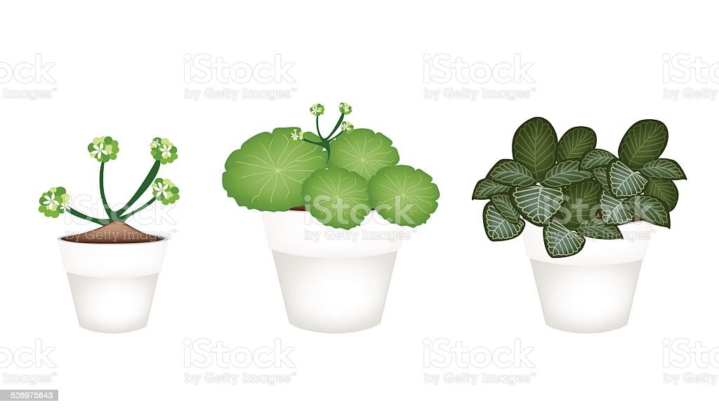 Asiatic Pennywort and Acanthaceae in Ceramic Pots vector art illustration