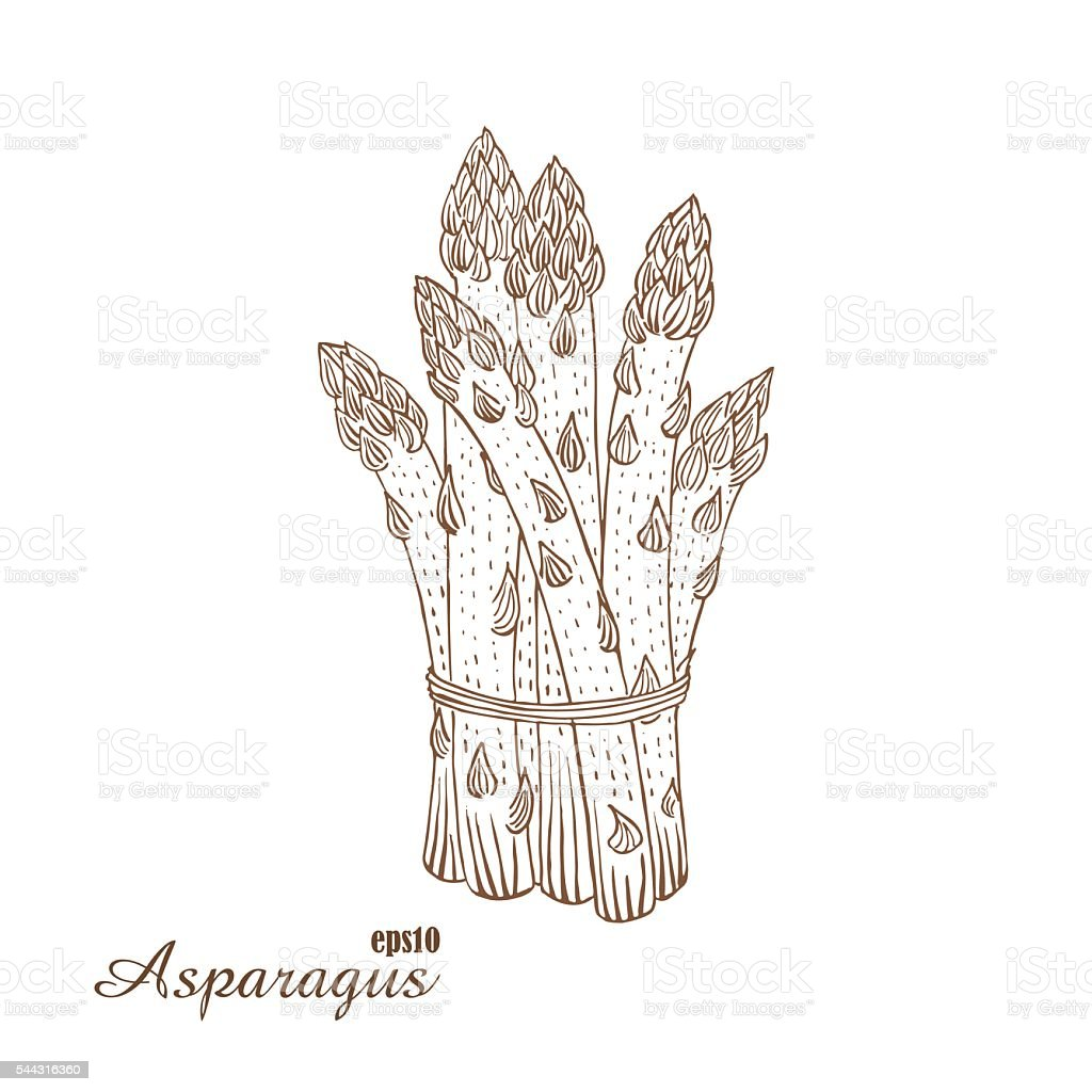 Asparagus. Vector illustration in woodcut style. Hand-draw sketch. vector art illustration