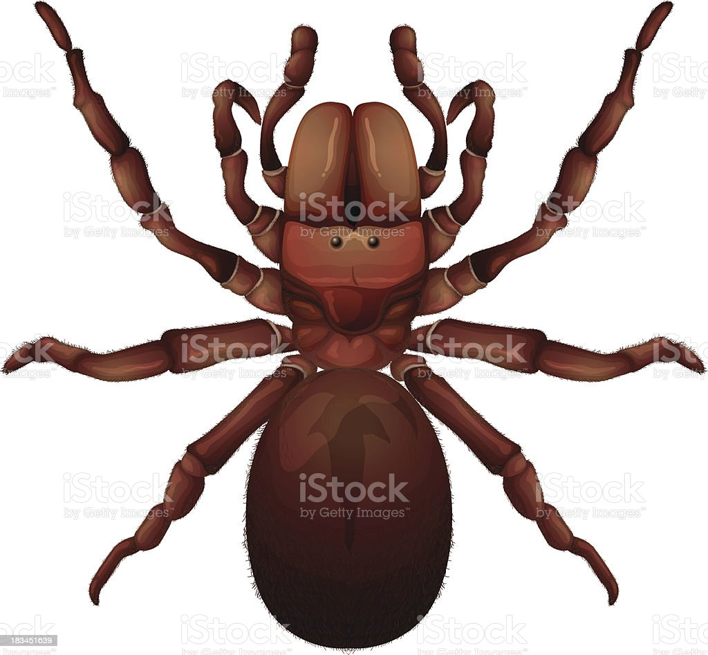Australian funnel-web spider royalty-free stock vector art