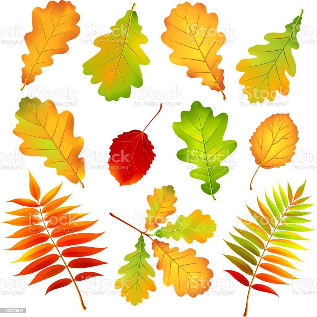 Autumn leaves. royalty-free stock vector art