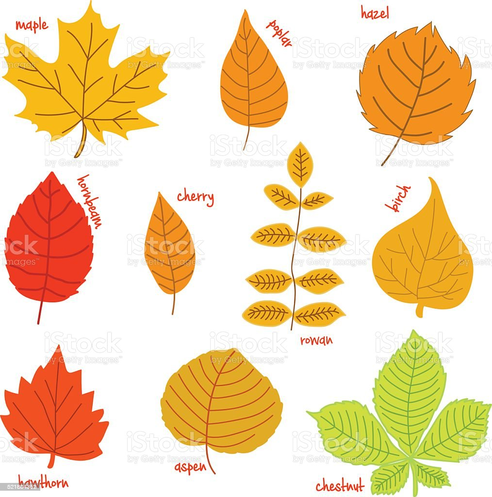 Autumn leaves with their names on a white background vector art illustration