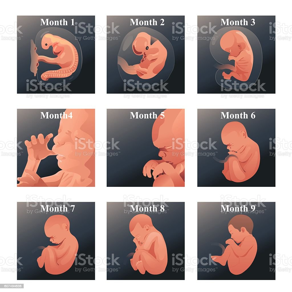 Baby  in Womb Series vector art illustration