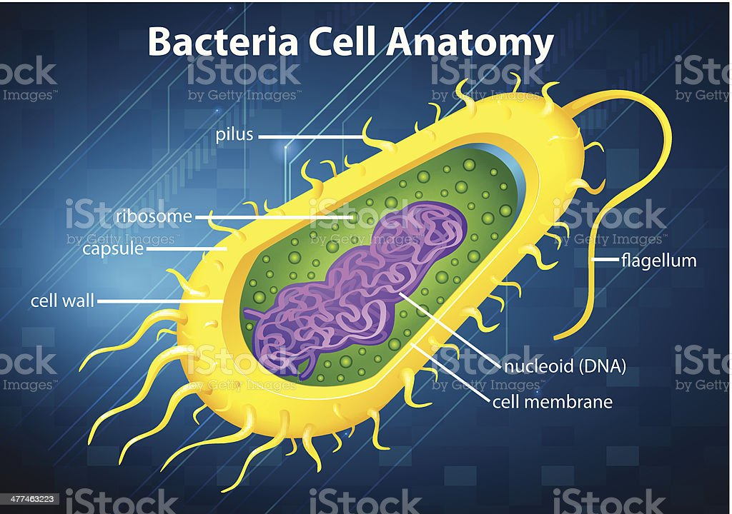 Bacteria cell structure vector art illustration
