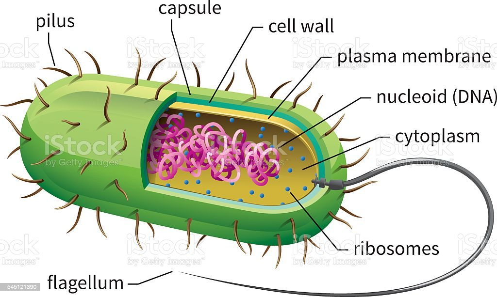 Bacteria Cell vector art illustration