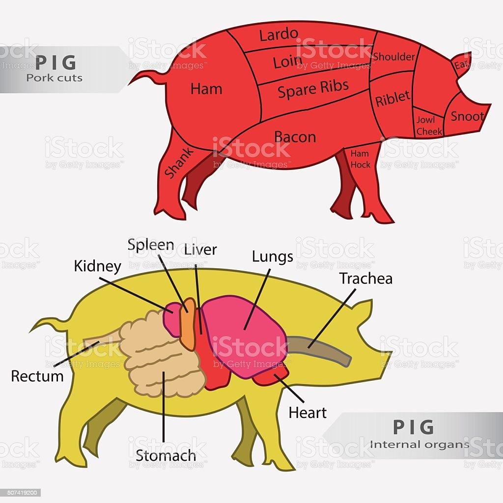 Basic  pig internal organs and cuts chart vector vector art illustration