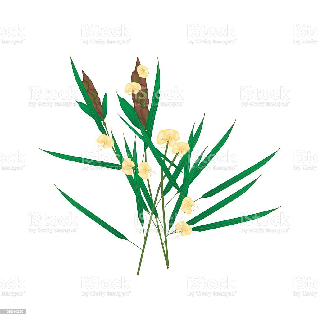 Basic RGBBarleria Lupulina Lindl Plant on White Background vector art illustration