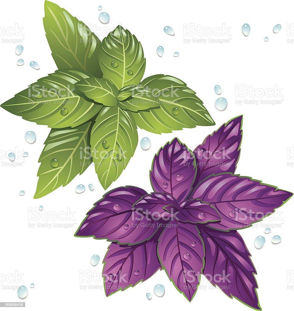 Basil leaves royalty-free stock vector art