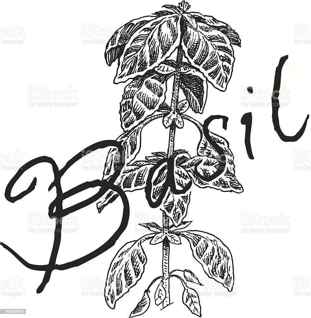 Basil Plant - Spice royalty-free stock vector art