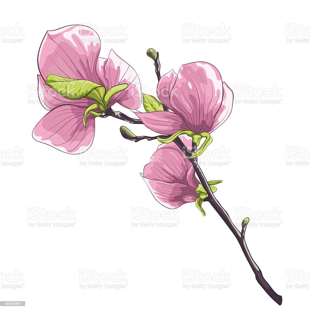 beautiful isolated twig blossoming magnolia tree. vector art illustration