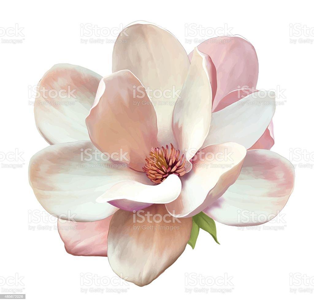 Beautiful Magnolia flower. Vector vector art illustration