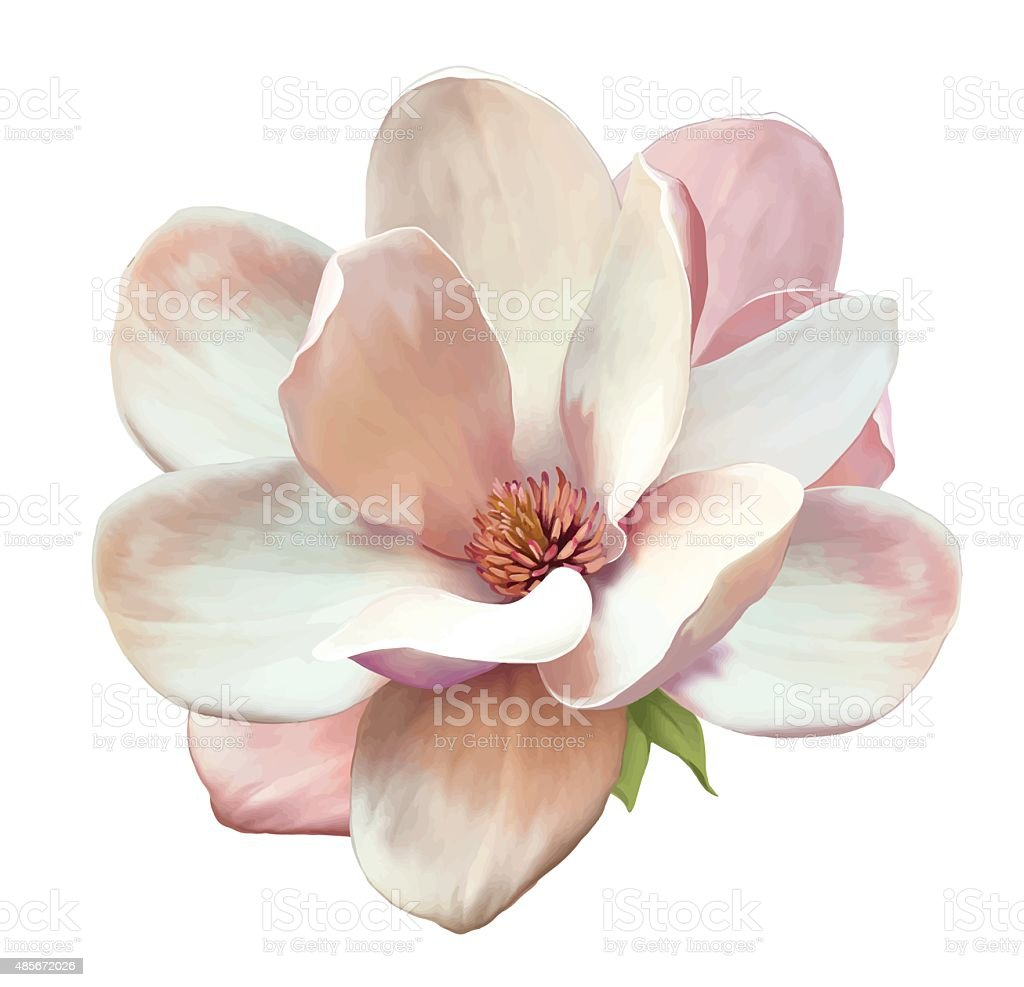 Beautiful Magnolia flower. Vector vector art illustration