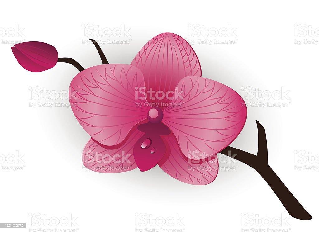 Beautiful pink Orchid vector art illustration