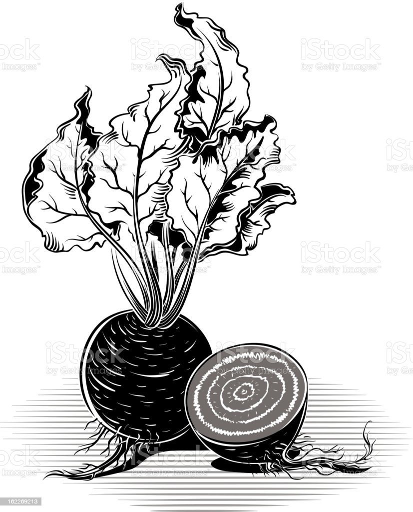 beet red vector art illustration