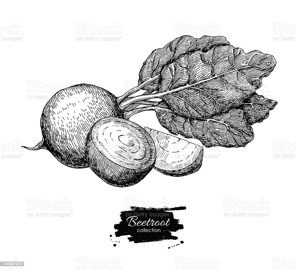 Beetroot hand drawn vector. Isolated engraved style Beetroot vegetable vector art illustration