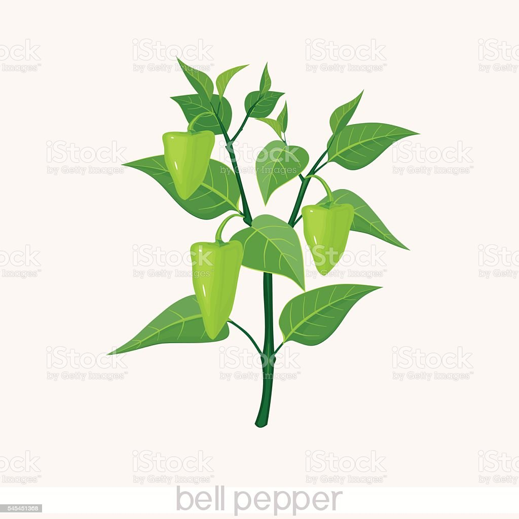 bell pepper vector art illustration