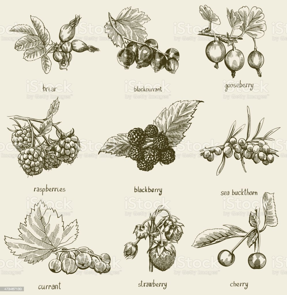 Berries set vector art illustration