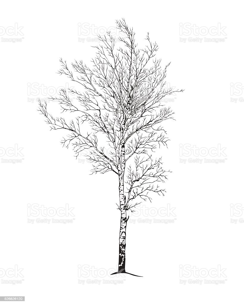 birch tree silhouette vector art illustration